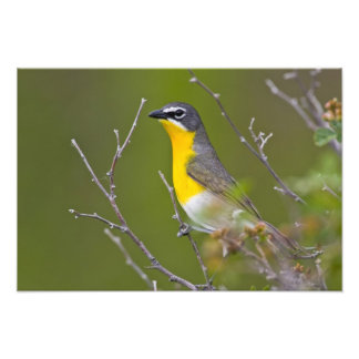 USA, Wyoming, Yellow-breasted Chat Icteria Art Photo