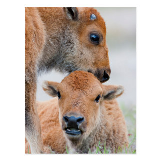 USA, Wyoming, Yellowstone National Park, A bison Postcard