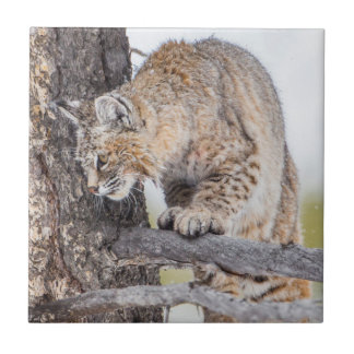 USA, Wyoming, Yellowstone National Park, Bobcat 2 Tile