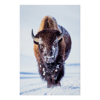 USA, Wyoming, Yellowstone National Park, Bull 2 Poster