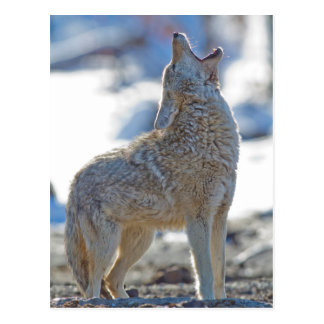USA, Wyoming, Yellowstone National Park, Coyote 2 Postcard