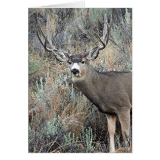 Utah mule deer buck card