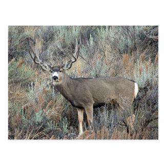 Utah mule deer buck postcard