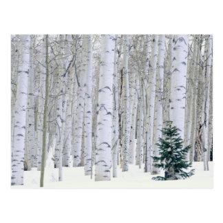 UTAH. USA. Aspen (Populus tremuloides) & Douglas Postcard