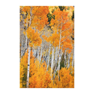 Utah, USA. Aspen Trees (Populus Tremuloides) 4 Canvas Print
