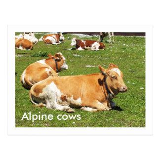 Vaches alpines cartes postales