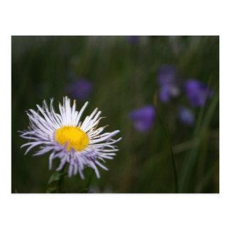 Vail Colorado Rocky Mountain Wild Flowers Postcard
