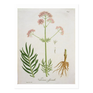 Valerian from 'Phytographie Medicale' by Joseph Ro Postcard