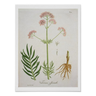 Valerian from 'Phytographie Medicale' by Joseph Ro Poster