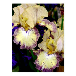 Vanilla Coloured Orchids Postcard