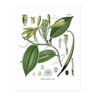 Vanilla planifolia postcard