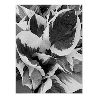 Variegated Hosta Black and White Floral Poster