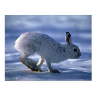 Varying Hare/Snowshoe Rabbit running across open s Postcard