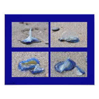 Velella Jellyfish Photo