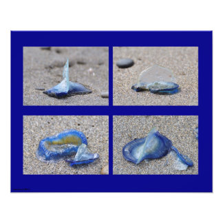 Velella Jellyfish Photographic Print