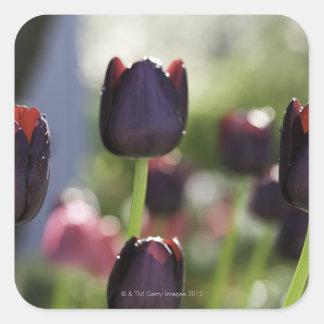 Velvety, deep maroon-black blooms on sturdy square sticker