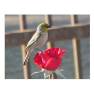 Verdin on Rose Postcard