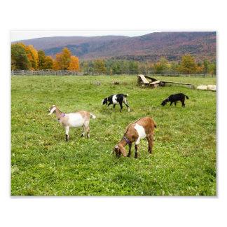Vermont Goats 7892 Photo Print