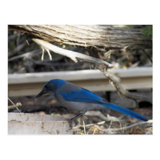 Vernon, Arizona Mountain Blue Bird Postcard