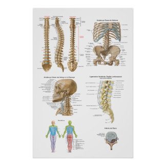 Vertebral column, Quiropraxia Poster