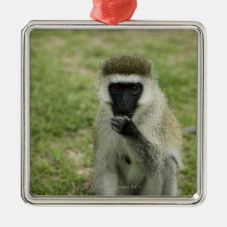 Vervet monkey eating, Africa Metal Ornament