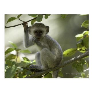 Vervet Monkey, Zimbabwe Postcard