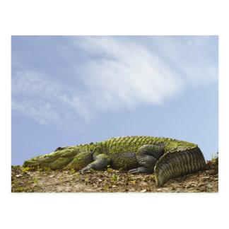 Very Large Alligator Postcard
