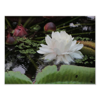 Victoria Amazonica - water lily Poster