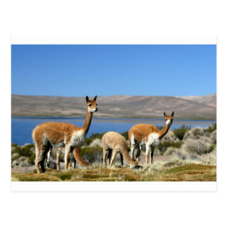 Vicuna in Lauca National Park, Chile Postcard