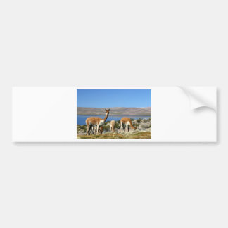 Vicuna on high alert Lauca National Park Bumper Sticker