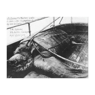 View of a Giant Sea Turtle in Captivity Canvas Prints