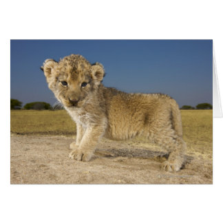 View of young lion cub (Panthera leo), looking Card