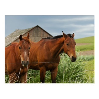 Viewing horses in a field in the Palouse 3 Postcard