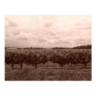 Vineyard 1 postcard