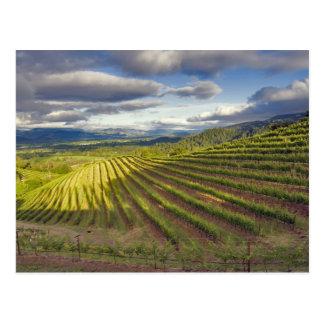 Vineyard. Napa Valley. Napa. Napa County, Postcard