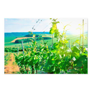 Vineyard Photo Print