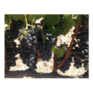 Vineyard Postcard