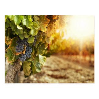 Vineyards At Sunset Postcard