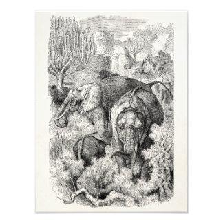 Vintage 1800s African Elephant - Elephants Photo