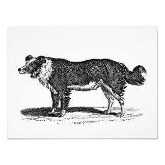 Vintage 1800s Border Collie Dog Illustration Photo Print