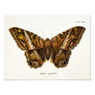 Vintage 1800s Brown Fuzzy Moth Template Butterfly Art Photo