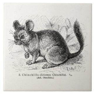 Vintage 1800s Chinchilla Chinchillas Illustration Tile