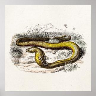 Vintage 1800s Cobra Snake Retro Cobras Drawing Poster