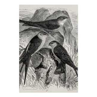 Vintage 1800s Red-Rumped Swallow Martin Bird Birds Poster