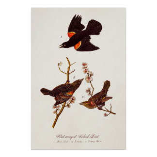 Vintage 1800s Red Winged Black Birds Illustration Poster