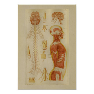 Vintage 1873 Muscles and Nerves Anatomy Print