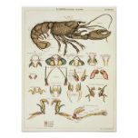 Vintage 1881 Lobster Biology Anatomy Print