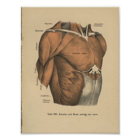 Vintage 1888 German Anatomy Print Chest Muscles