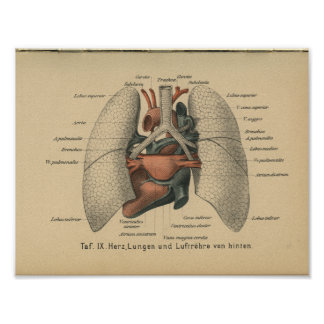 Vintage 1888 German Anatomy Print Heart Lungs