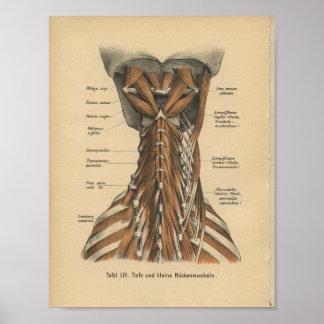 Vintage 1888 German Anatomy Print Neck Muscles